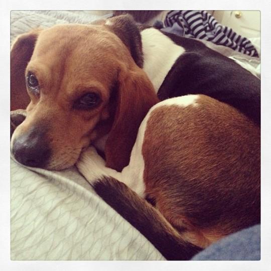 Millie the Beagle.